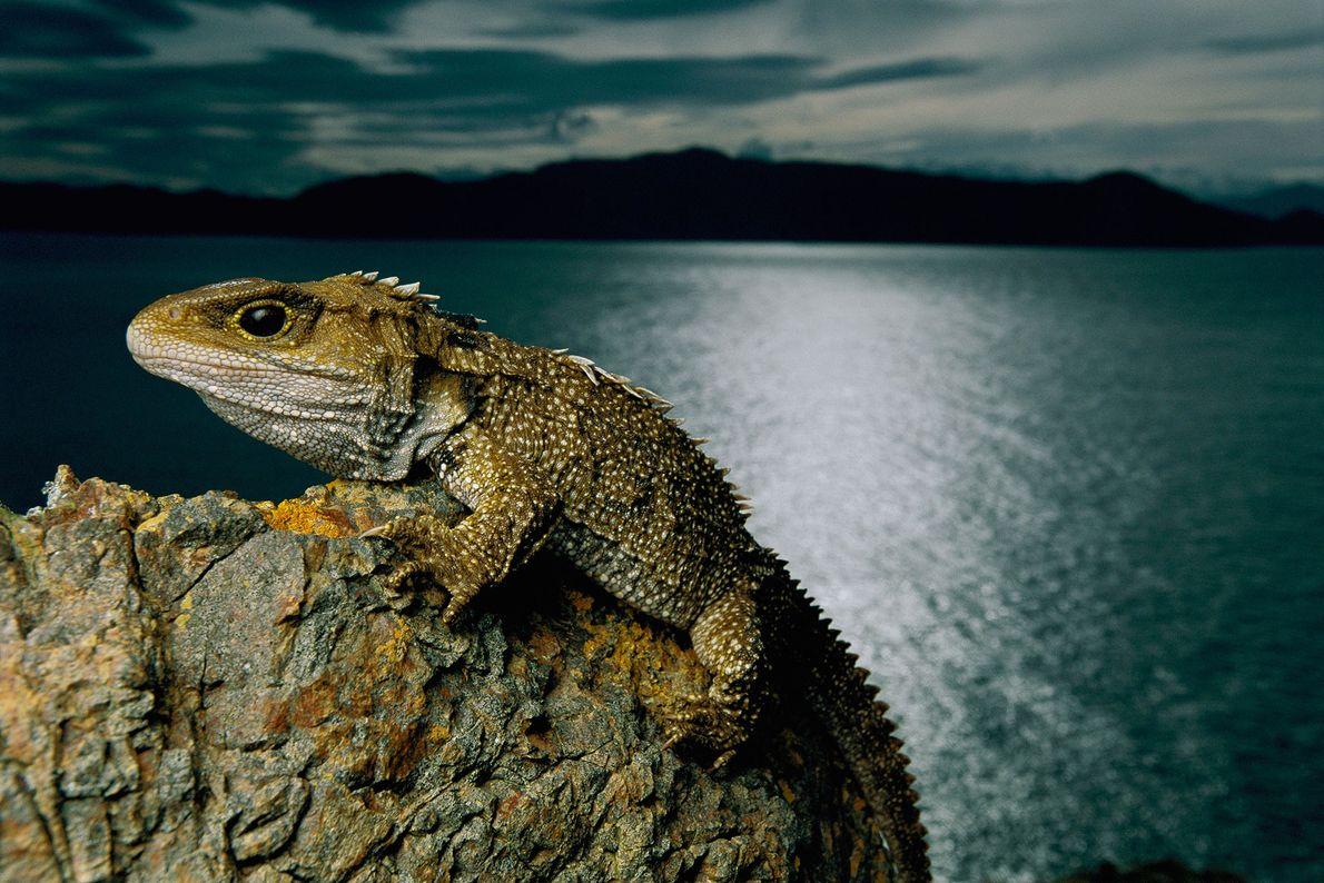 Eine Brückenechse klammert sich an der Küste Neuseelands an einen Stein.