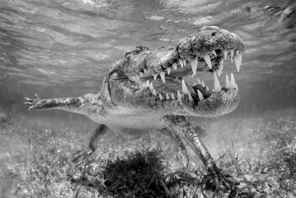 Spitzkrokodil. Xcalak, Quintana Roo, Mexiko.