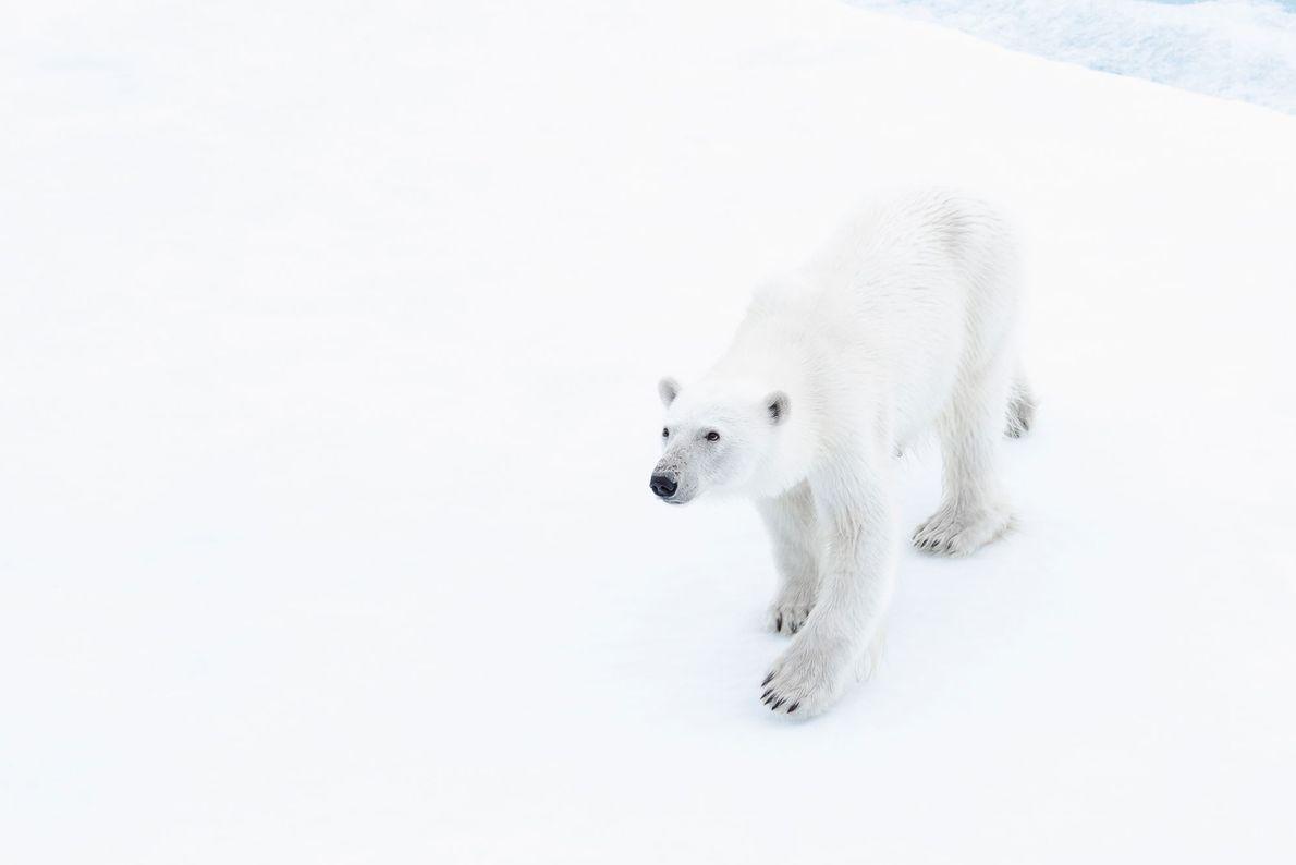 Eisbär. Zelënyy Mys, Murmansk, Russland.