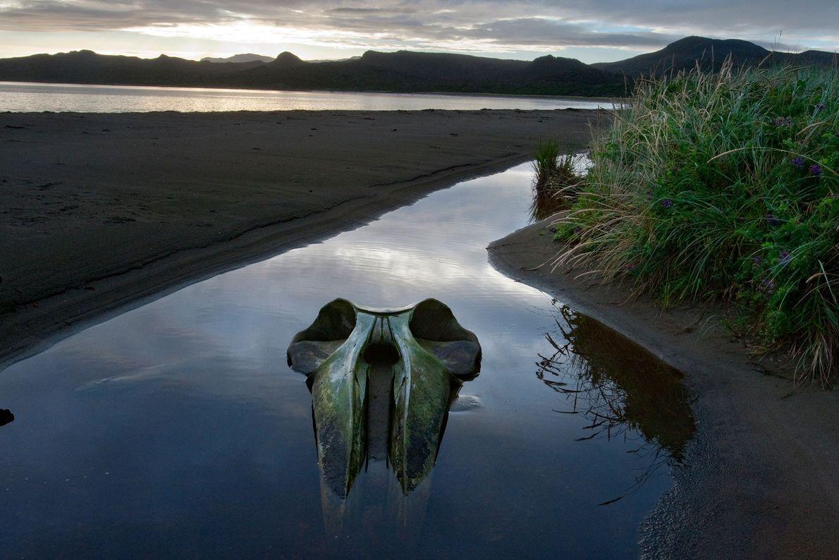 Seiwal-Schädel in Patagonien, Chile
