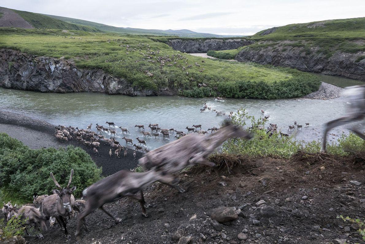 Tausende Tiere der Alaska-Karibuherde überqueren den Blow River im Norden Yukons. Während ihrer Sommerwanderung ziehen sie ...