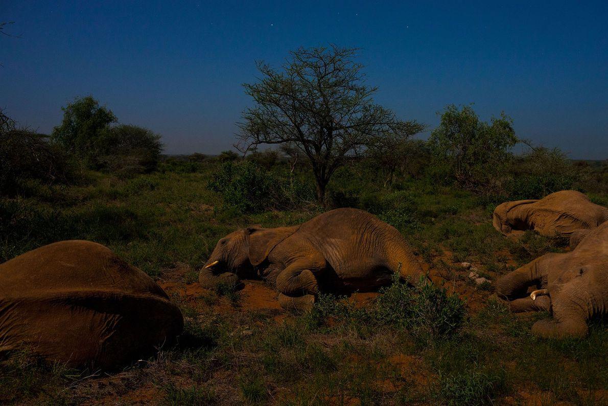 Eine Elefanten-Matriarchin schläft inmitten ihrer Familie im Samburu National Reserve in Kenia.