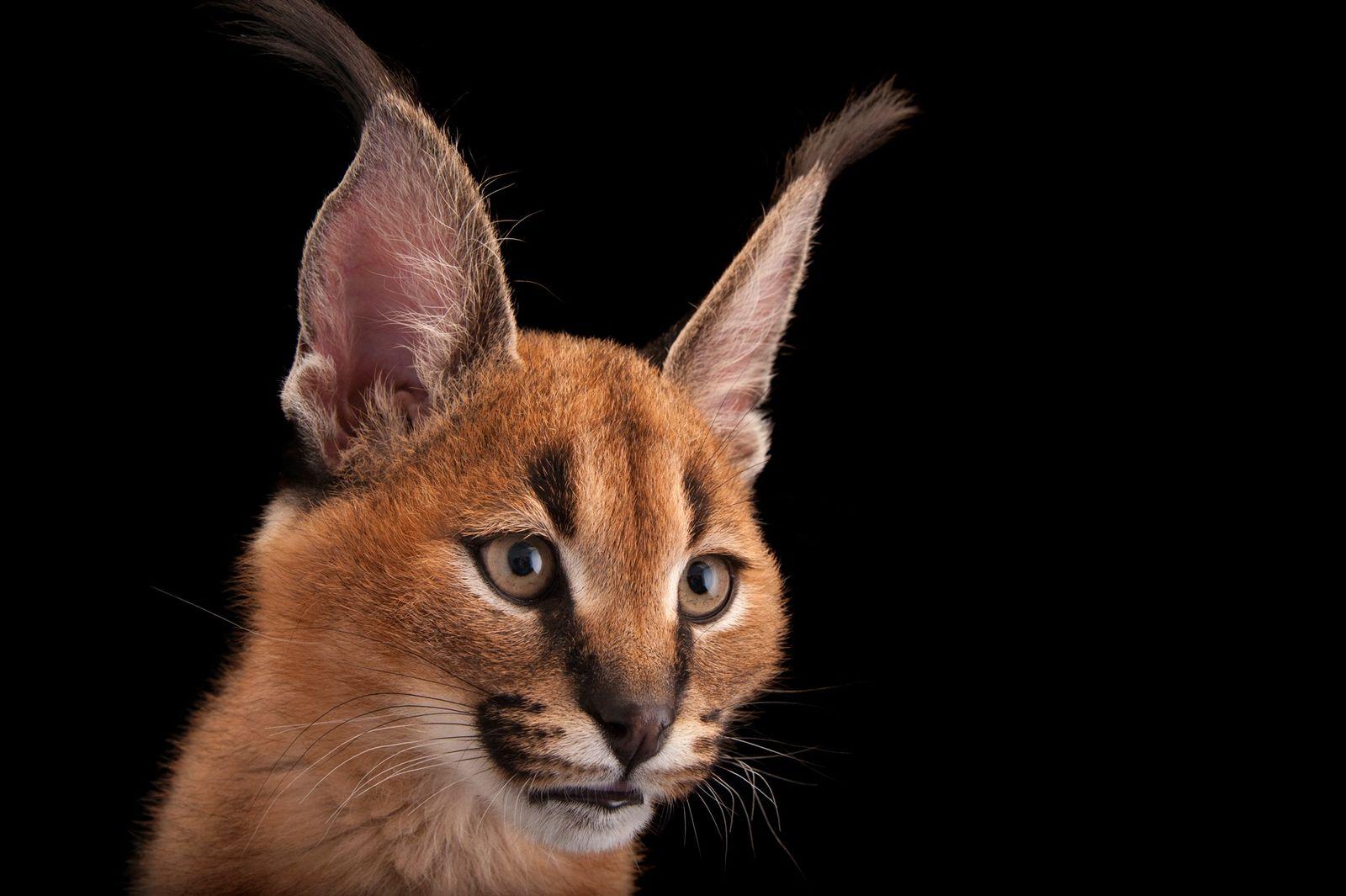 Als geschickte Jäger können manche kleineren Wildkatzen größere Beutetiere zur Strecke bringen. Der in Asien und ...