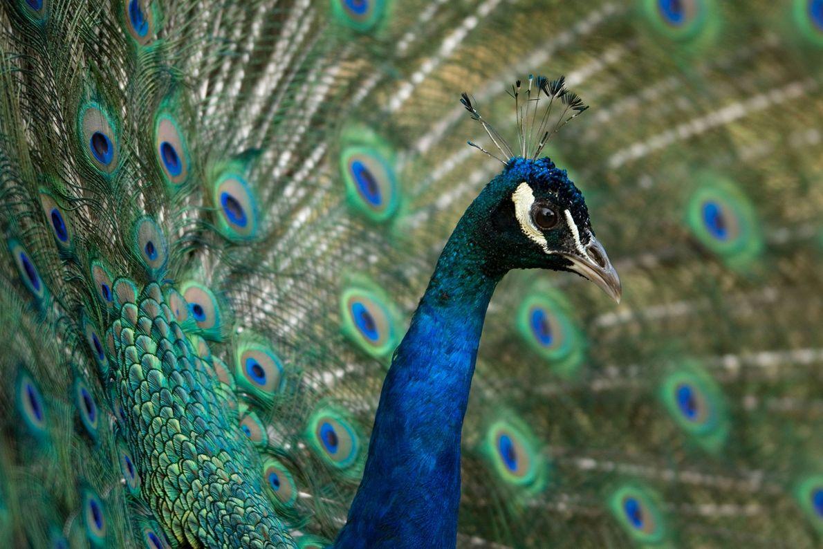 Pfau. Henry Doorly Zoo, Omaha, Nebraska, USA