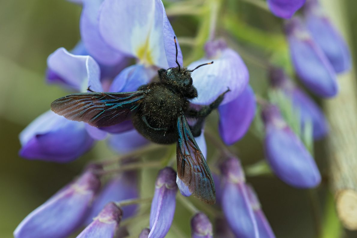 Die Blauschwarze Holzbiene ist eine der häufigsten Bienenarten im Mittelmeerraum. Inzwischen besiedelt sie auch Norddeutschland.