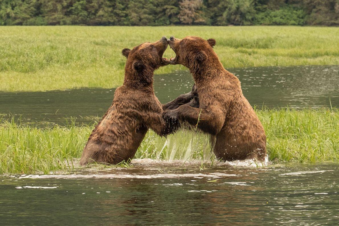 Zwei kämpfende Bären