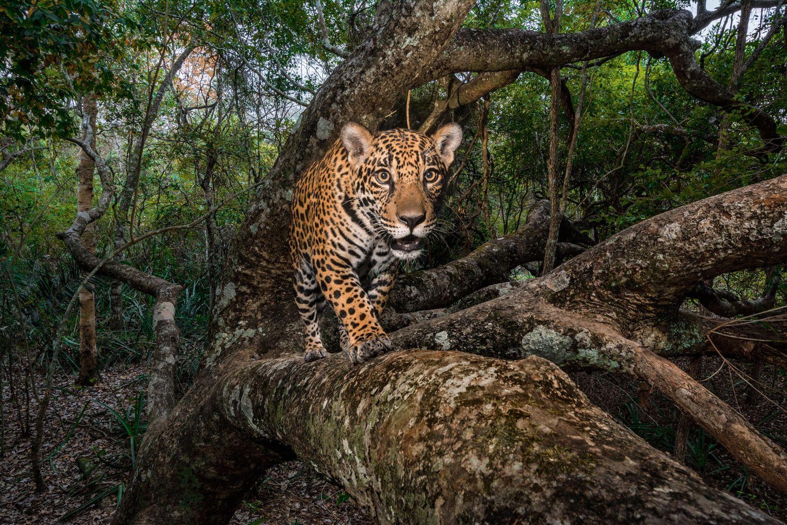 Ein zehn Monate altes Jaguar-Jungtier wurde vom Infrarotstrahl einer Kamerafalle einfangen, als es im Pantanal in ...