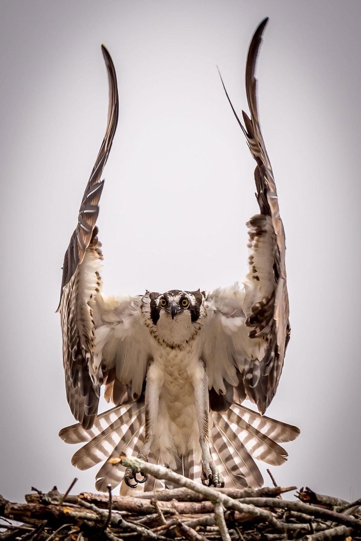 Fischadler.