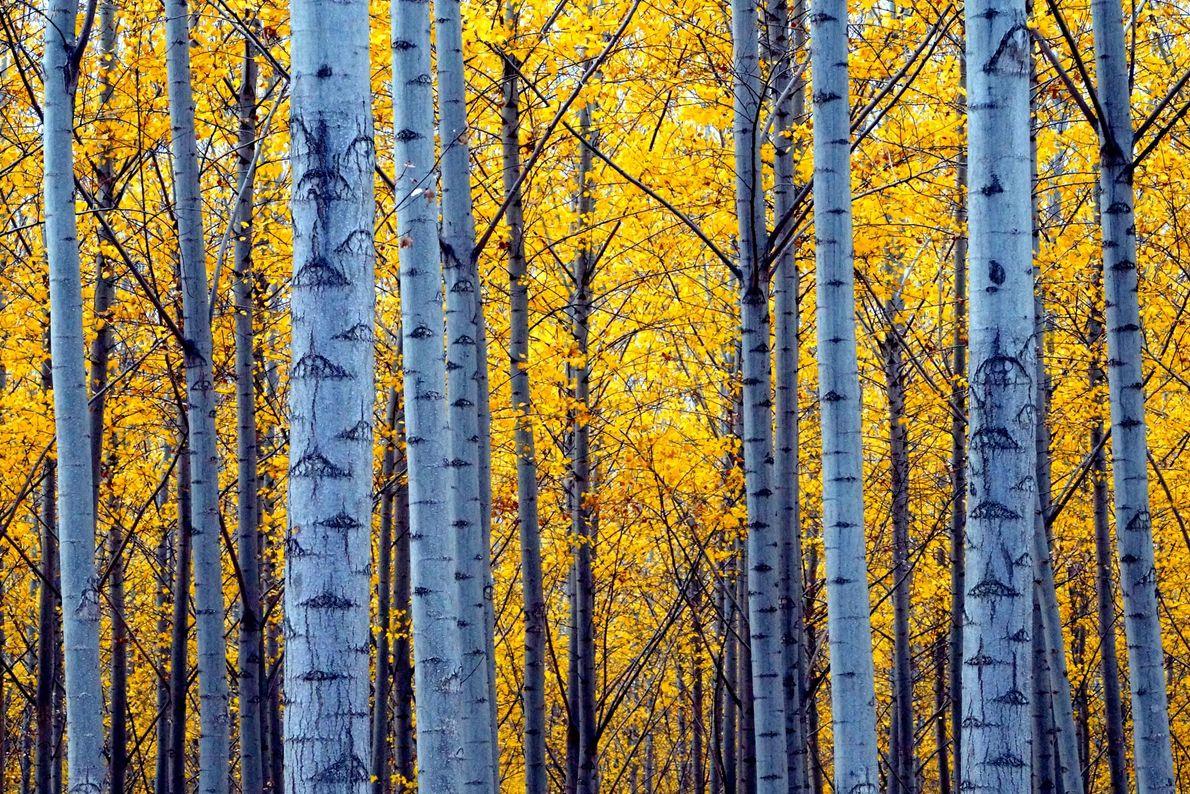 Bäume mit gelben Blättern