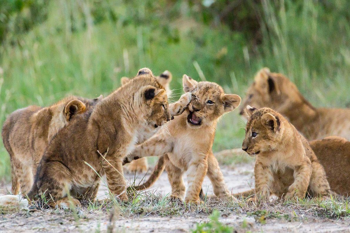 Kämpfende junge Löwen
