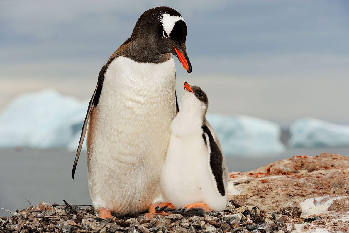 Eselspinguin mit Küken. Antarktis