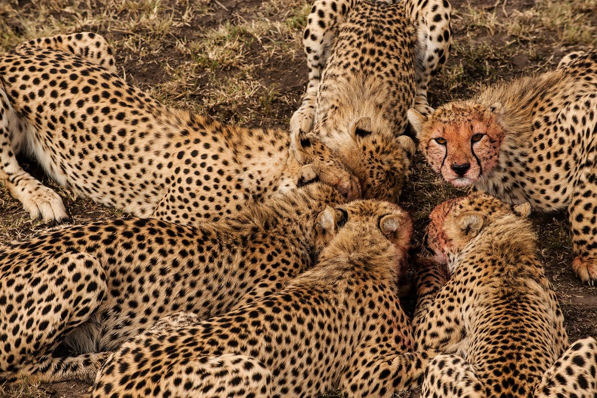 Junge Geparden fressen eine Thomson-Gazelle im kenianischen Naturschutzgebiet Masai Mara.