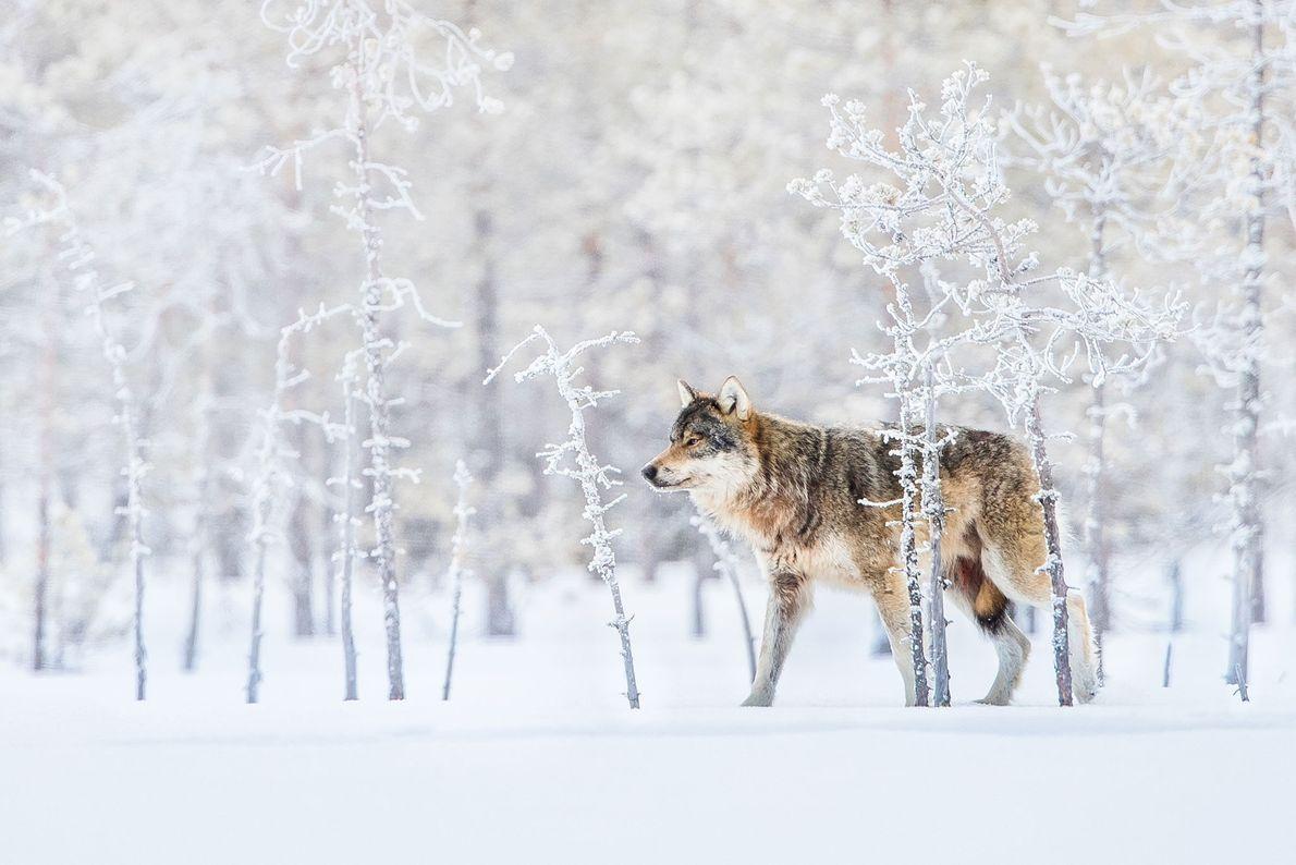 Wolf. Lehtovaara, Oulu, Finnland.