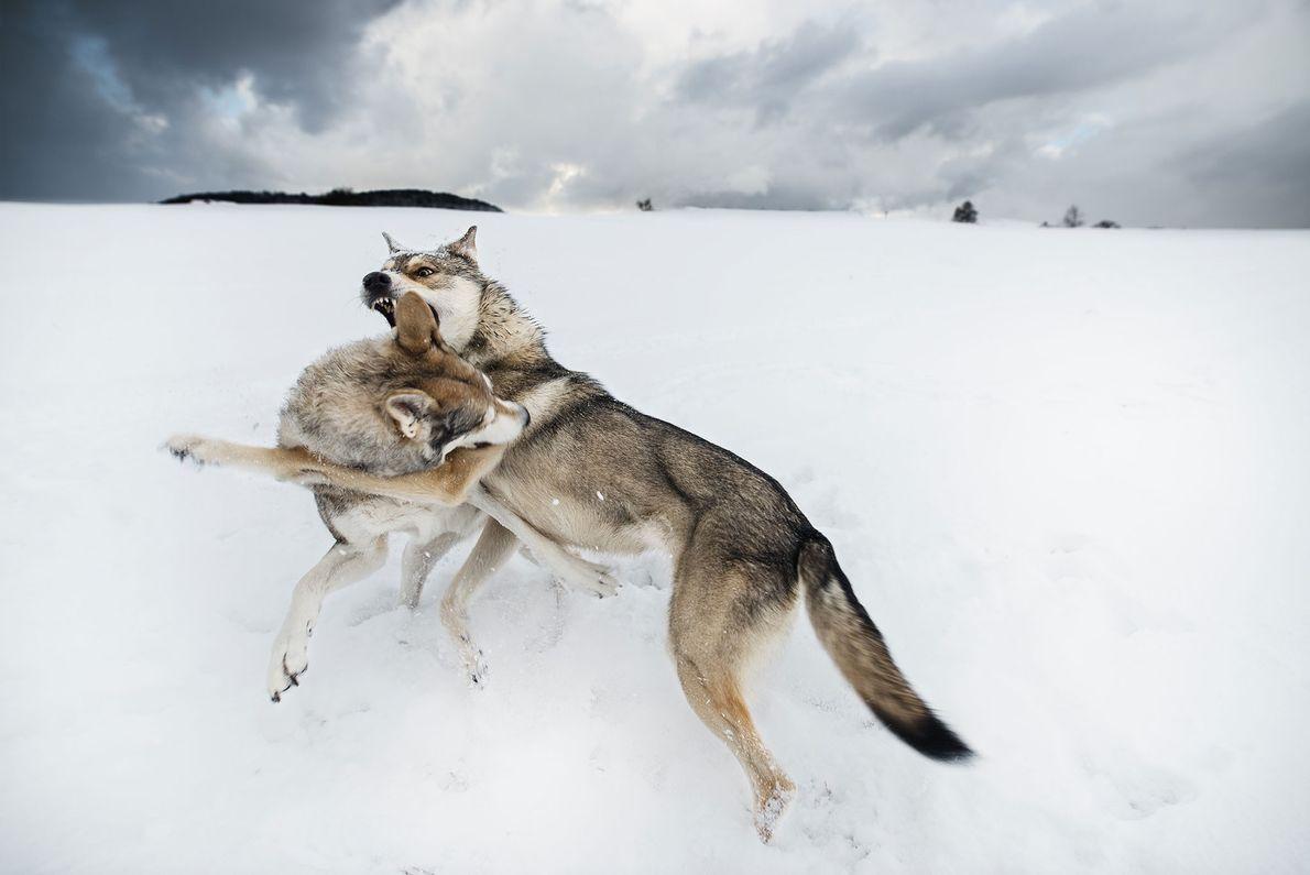 Zwei kämpfende Wölfe im Schnee