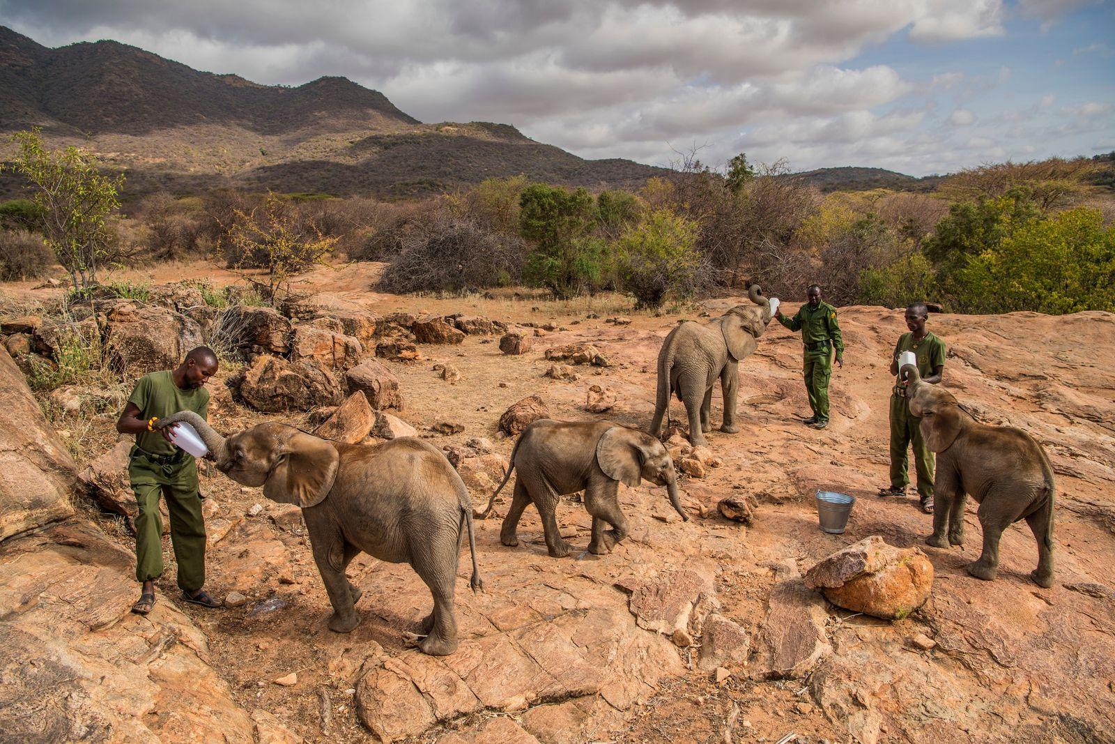 Es ist Fütterungszeit für hungrige Waisen im Reteti Elephant Sanctuary in Nordkenia. Der Zufluchtsort wurde im ...