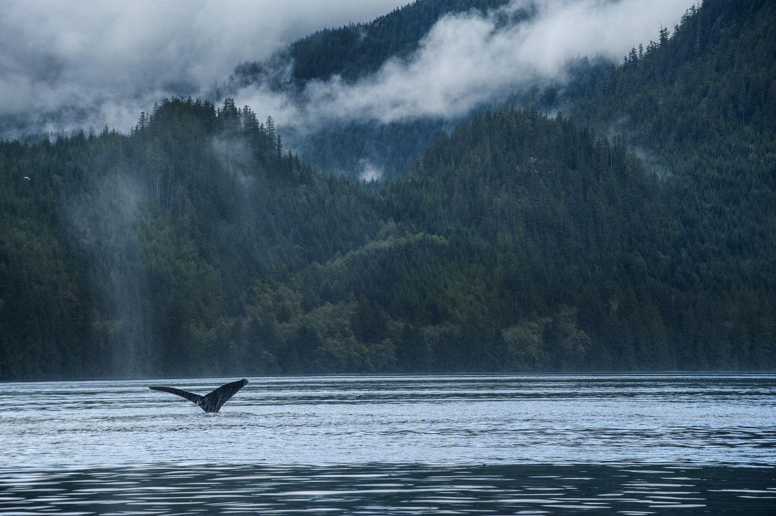 In dem gemäßigten Regenwald British Columbias wachsen Zedern, die über 1.000 Jahre alt sind und bis ...
