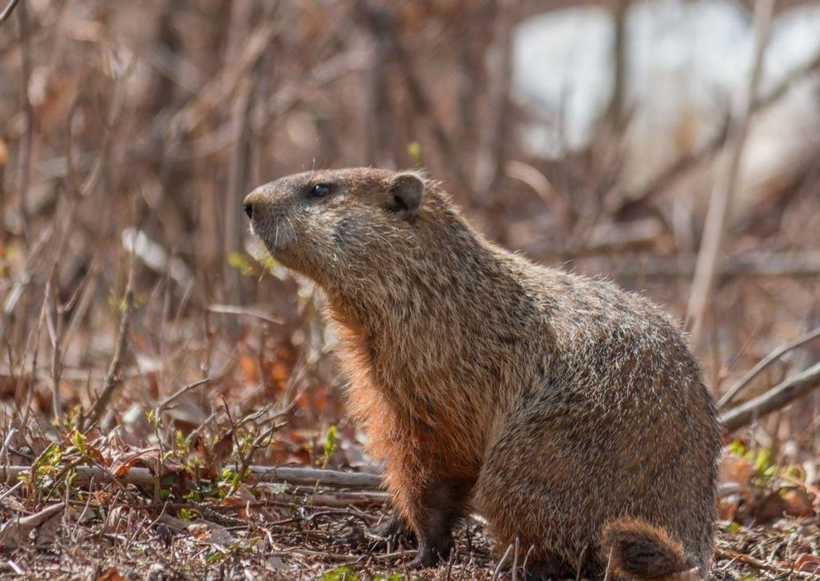 Nach einem langen, kalten Winter genießt dieses Murmeltier den ersten sonnigen Frühlingstag.