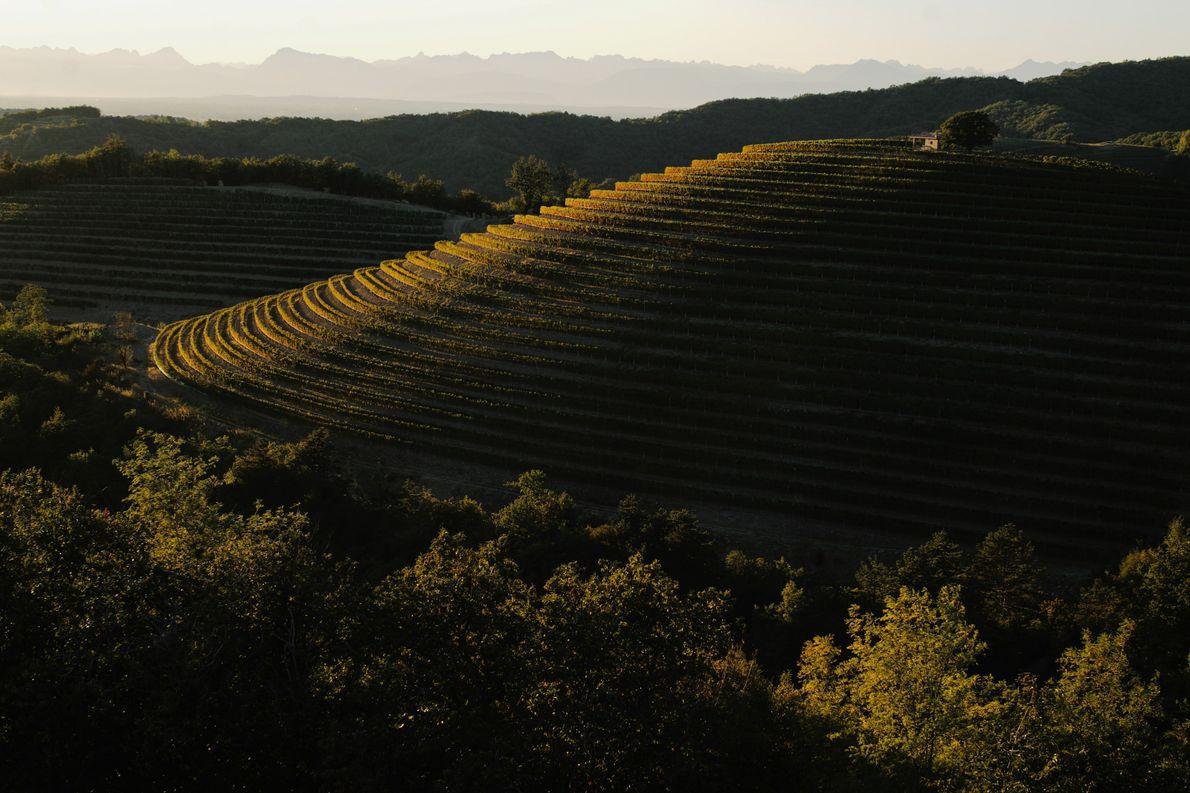 Die Morgensonne schickt ihr goldenes Licht über die geschichtsträchtigen Weinberge der Region Goriška. Das Gebiet liegt ...