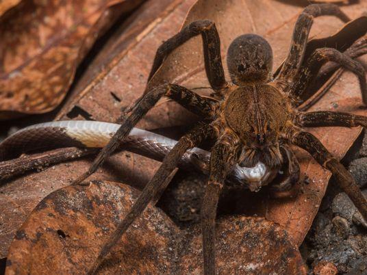 Weltweite Studie belegt: Spinnen fressen Schlangen