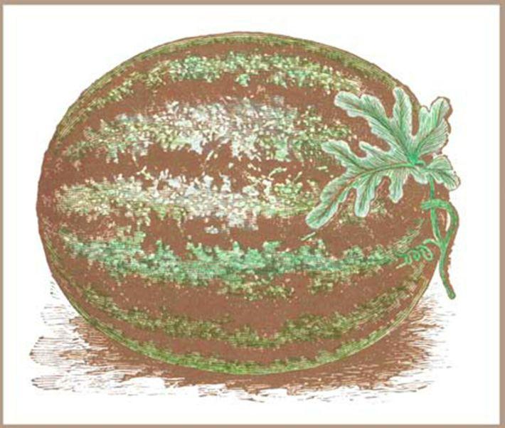 """1705 beschreibt Plantagenbesitzer Robert Beverly die Wassermelone als """"exzellent und sehr angenehm im Geschmack wie auch ..."""