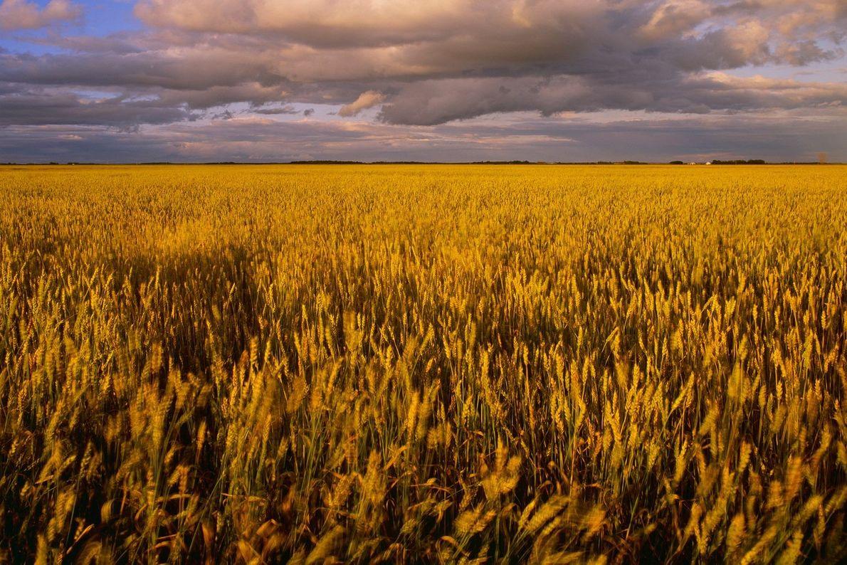 Ein reifes Weizenfeld im kanadischen Manitoba weht bei Sonnenuntergang im Wind.