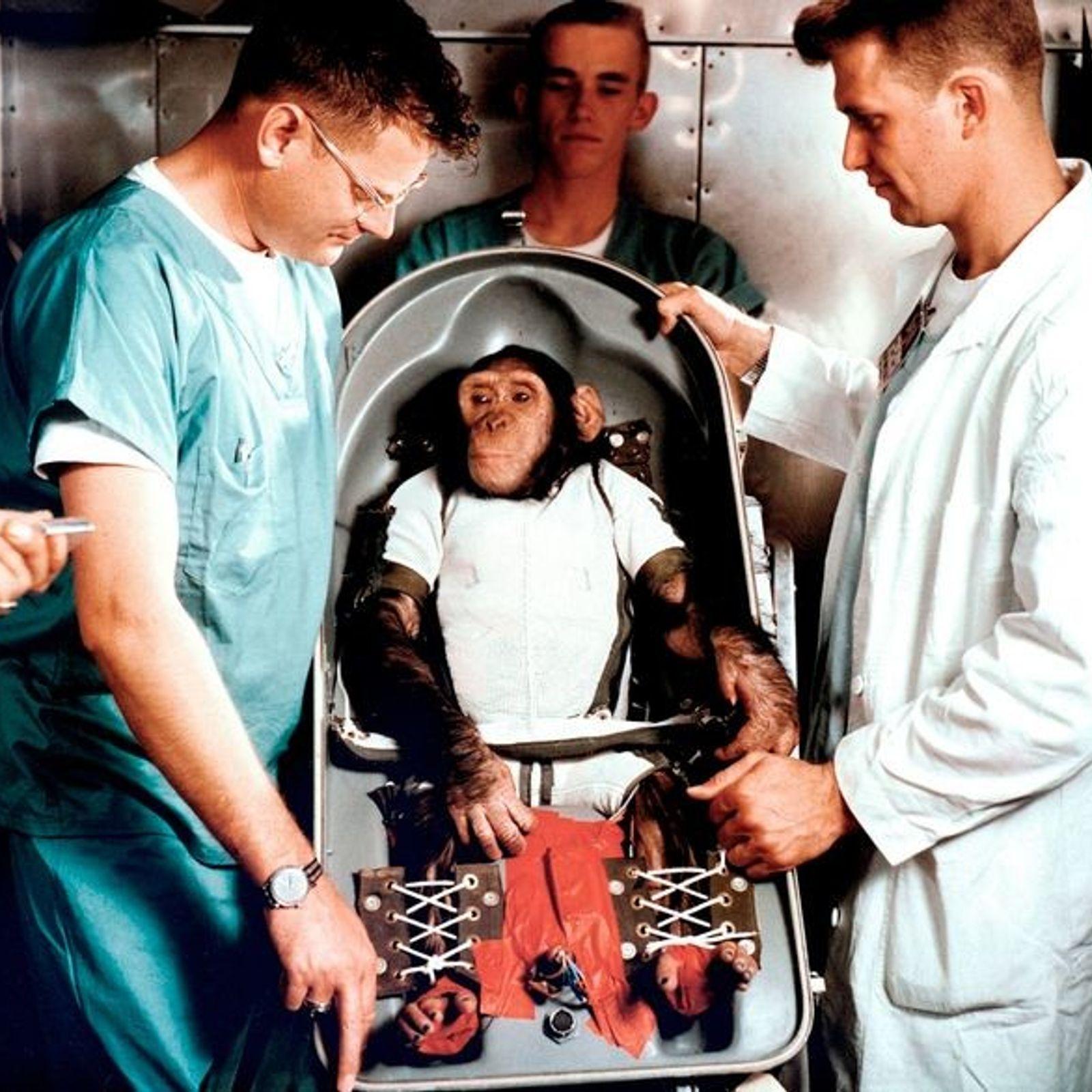 Ham wird im Januar 1961 in seine 'Couch' geschnallt, die speziell auf seinen Körper angepasst wurde, ...