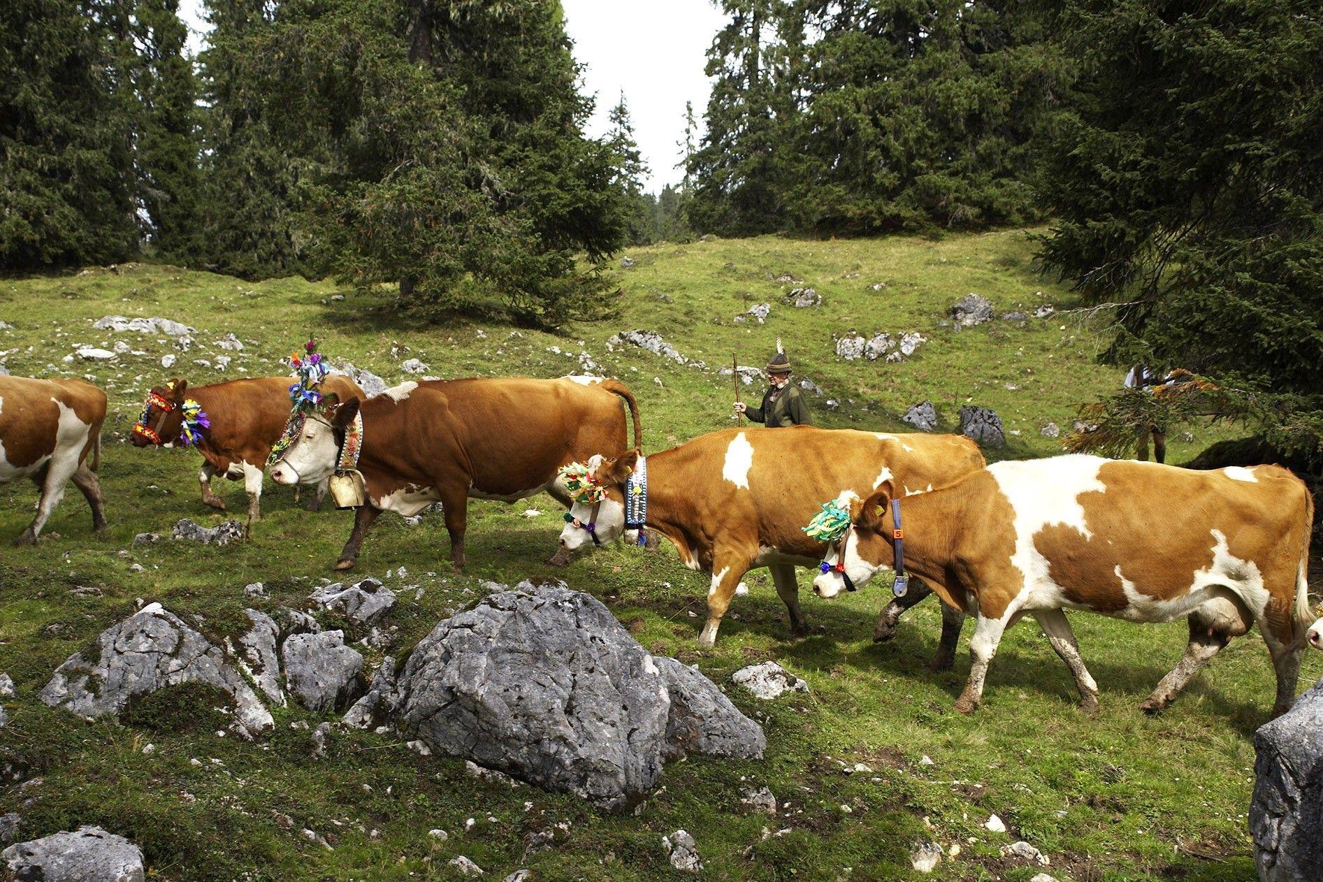 Essen, Trinken, Almabtrieb – ein Tiroler Kulturgut | National Geographic