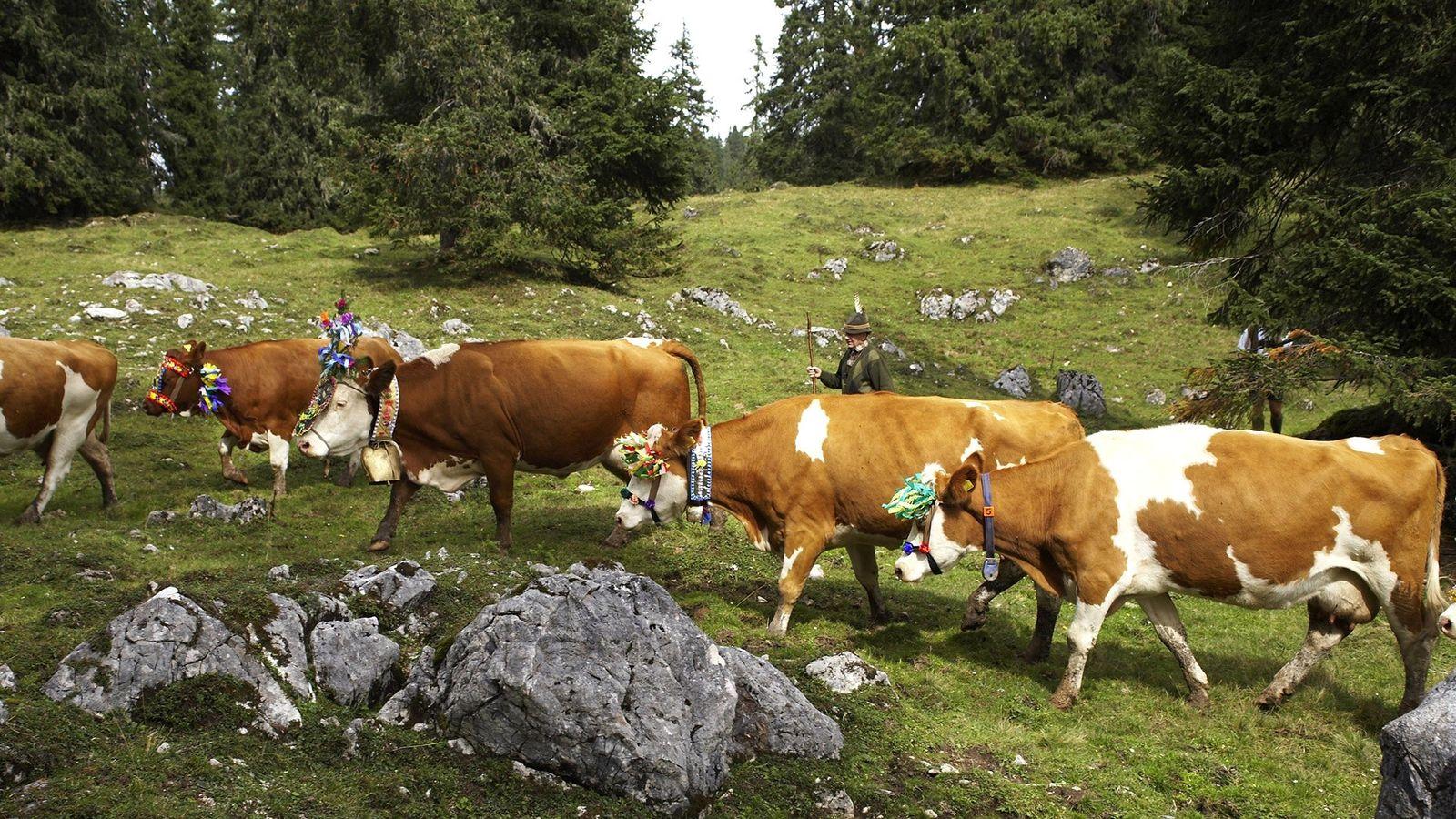 Im europäischen Alpenraum werden Kühe von ihren Sommerweiden (oder Almen) in den Bergen hinunter in die ...