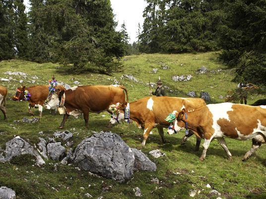Essen, Trinken, Almabtrieb – ein Tiroler Kulturgut
