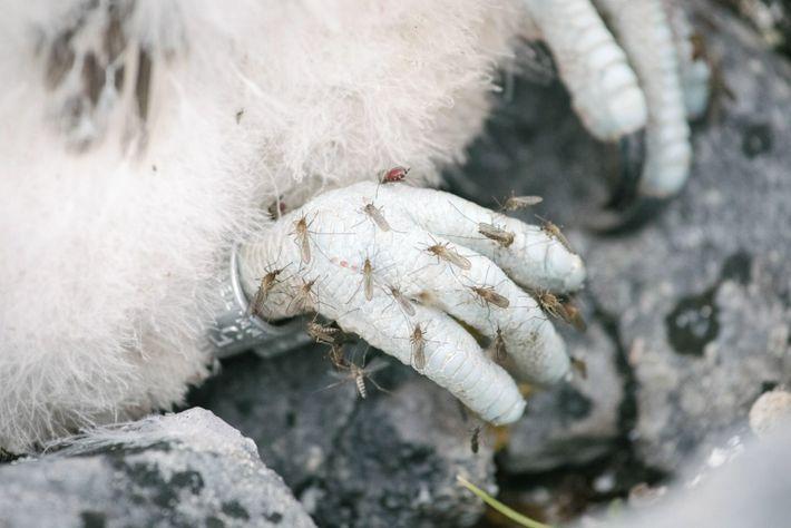 Gerfalkenküken geplagt von Mücken