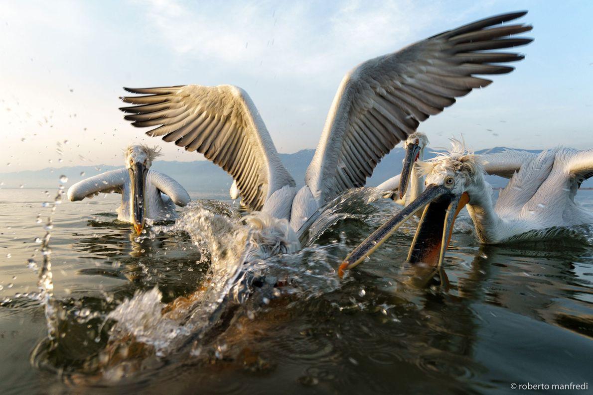 Drei kämpfende Pelikane