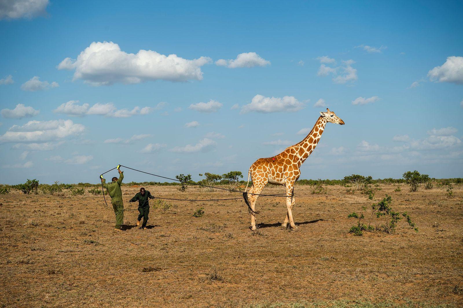 Wissenschaftler legten insgesamt elf Giraffen im Loisaba Wildlife Conservancy und dem Leparua Community Conservancy Transponderhalsbänder an.
