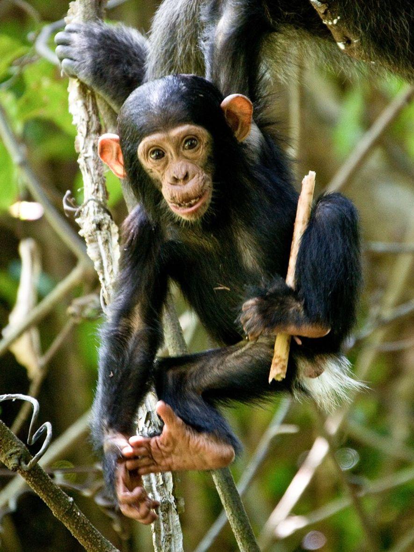 Ein junger Schimpanse im Mahale-Mountains-Nationalpark in Tansania.