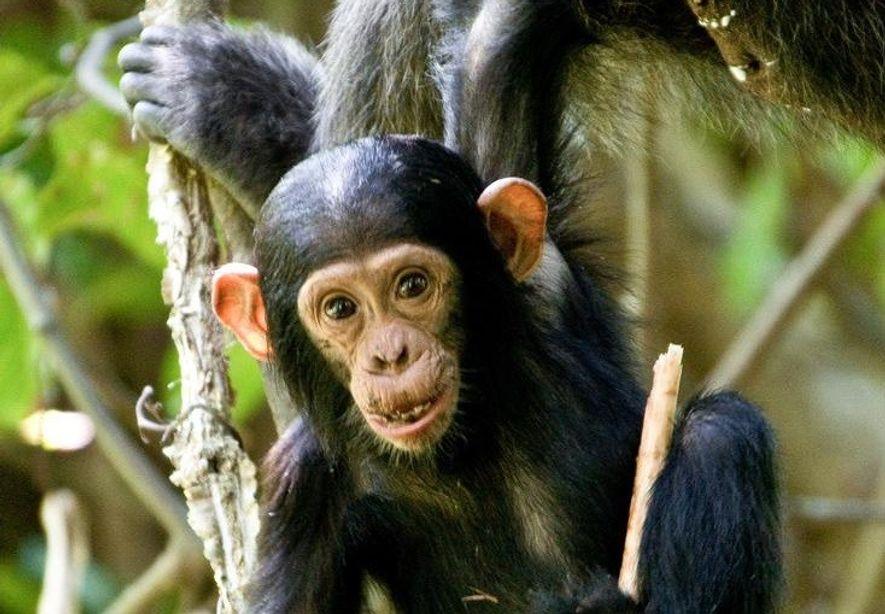 """Weibliche Schimpansen spielen mit """"Puppen"""""""