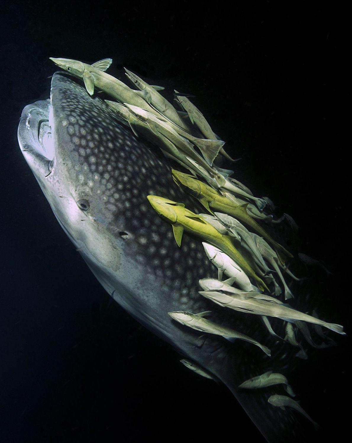 Ein Walhai schwimmt auf der Suche nach Plankton Richtung Wasseroberfläche und wird dabei von zahlreichen kleineren ...