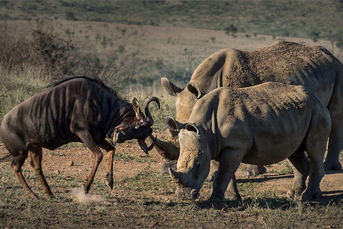 Zwei Nashörner kämpfen mit Gnu