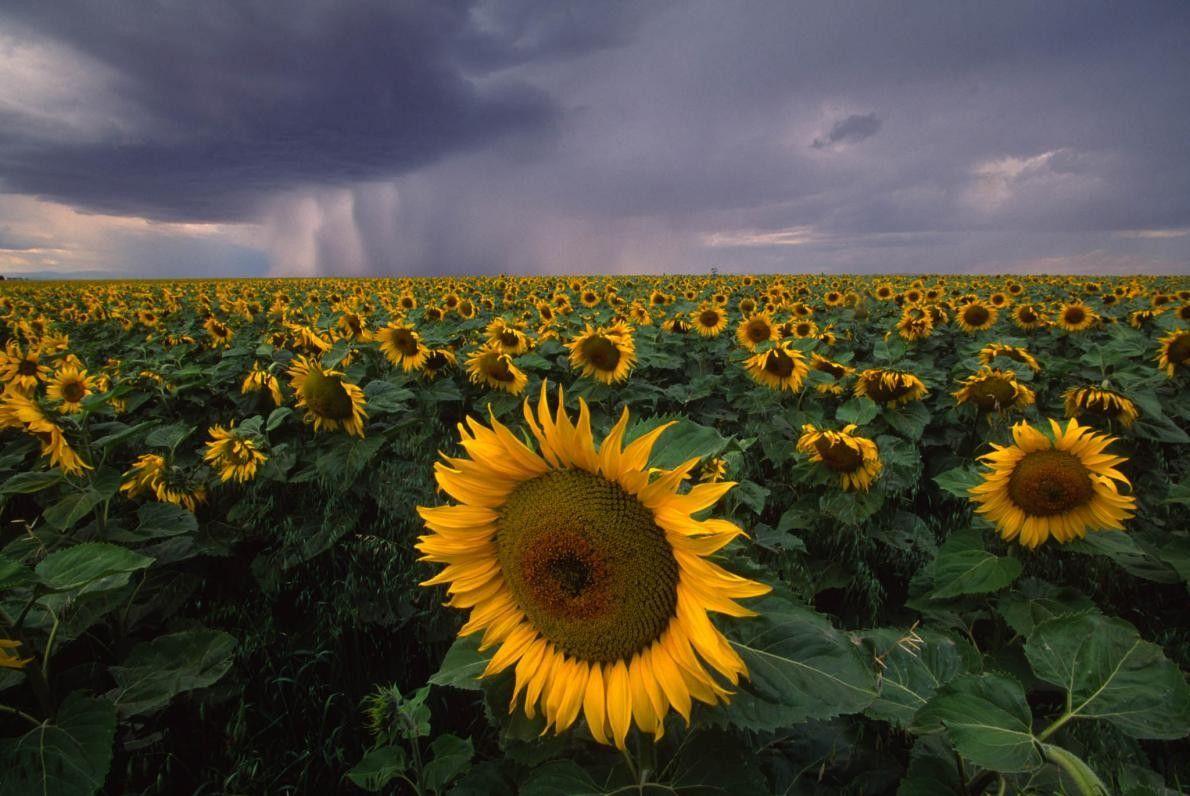Sonnenblumenfeld in Denton, Montana