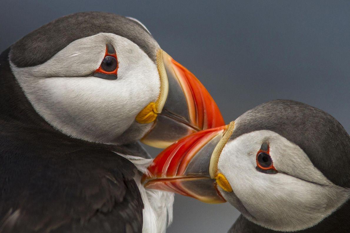 Papageitaucher. Seahouses, England