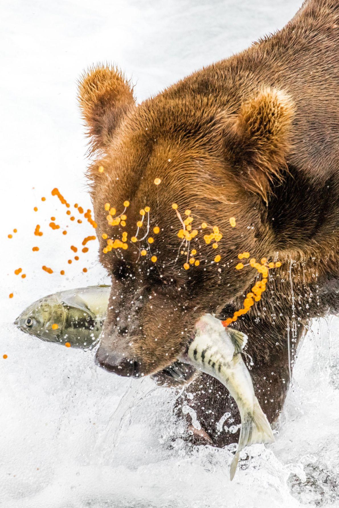 Dieses Foto entstand Ende Juli 2016 im McNeil River Game Sanctuary. Die den Braunbären und Ketalachse ...