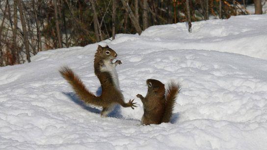 Kämpfende Eichhörnchen