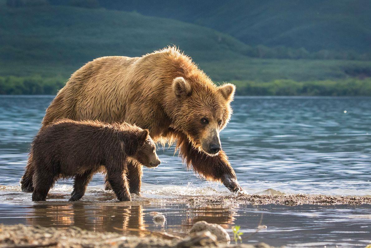 Bär mit Jungtier. Kamtschatka, Russland.