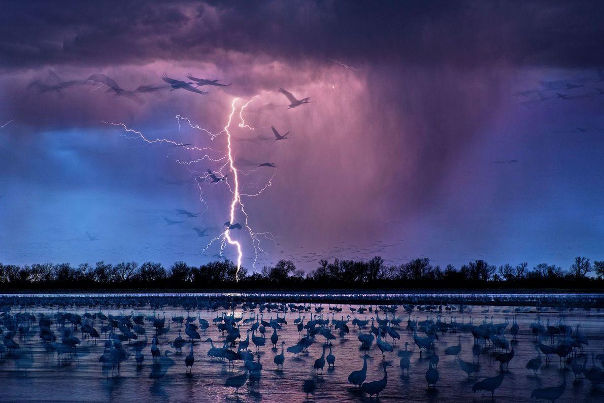 Kanadakraniche. Nebraska, USA