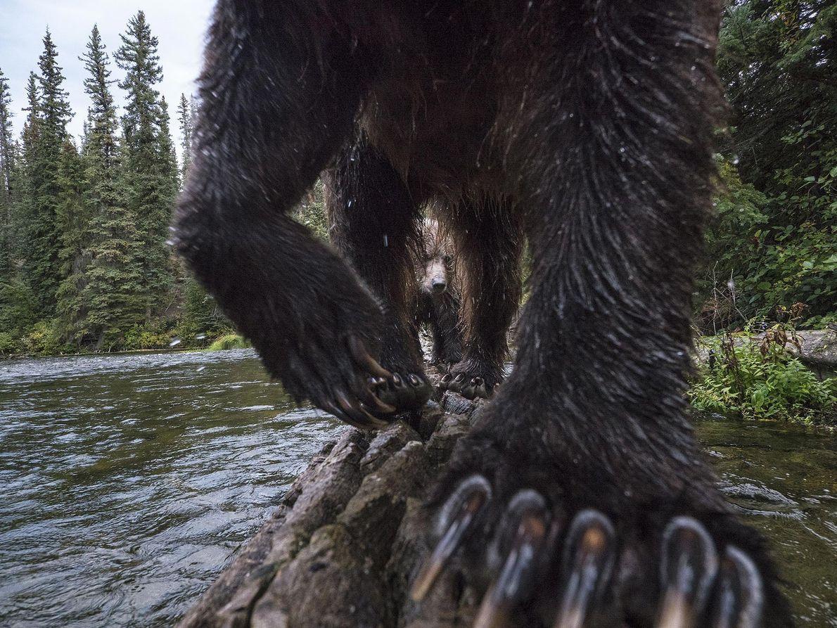 Grizzlybär. Carmacks, Yukon, Kanada