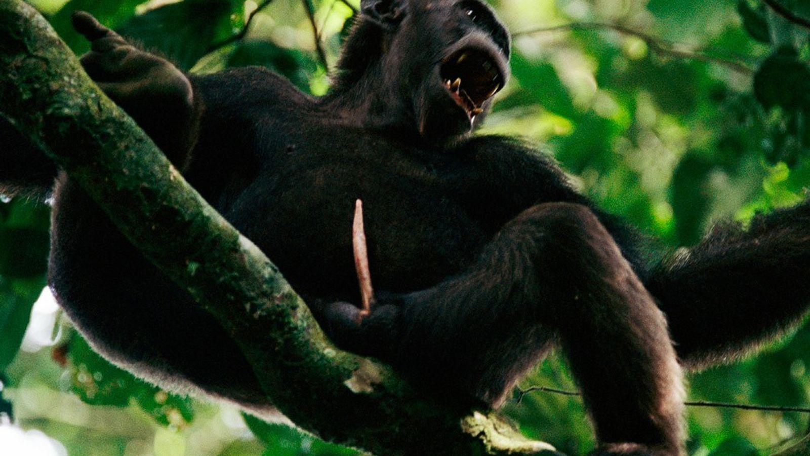 chimpanzee penile spines humans
