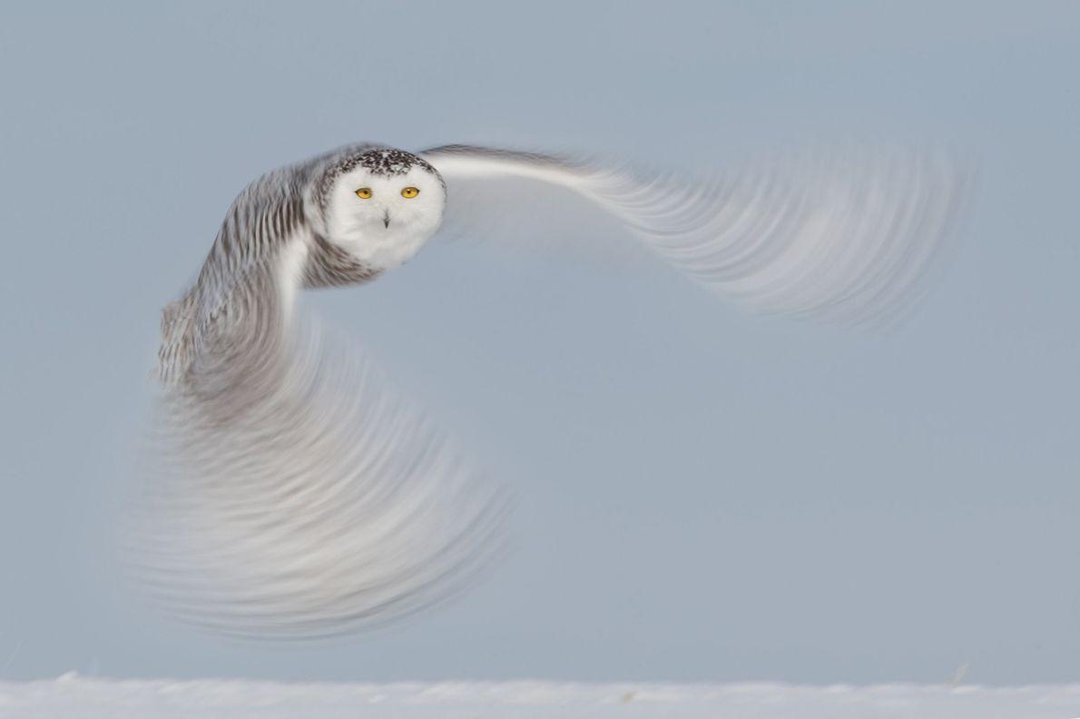 Schneeeulen gehören zu meinen Lieblingsvögeln. Durch ihre Scheu und ihren eleganten Flug sind sie für Fotografen ...