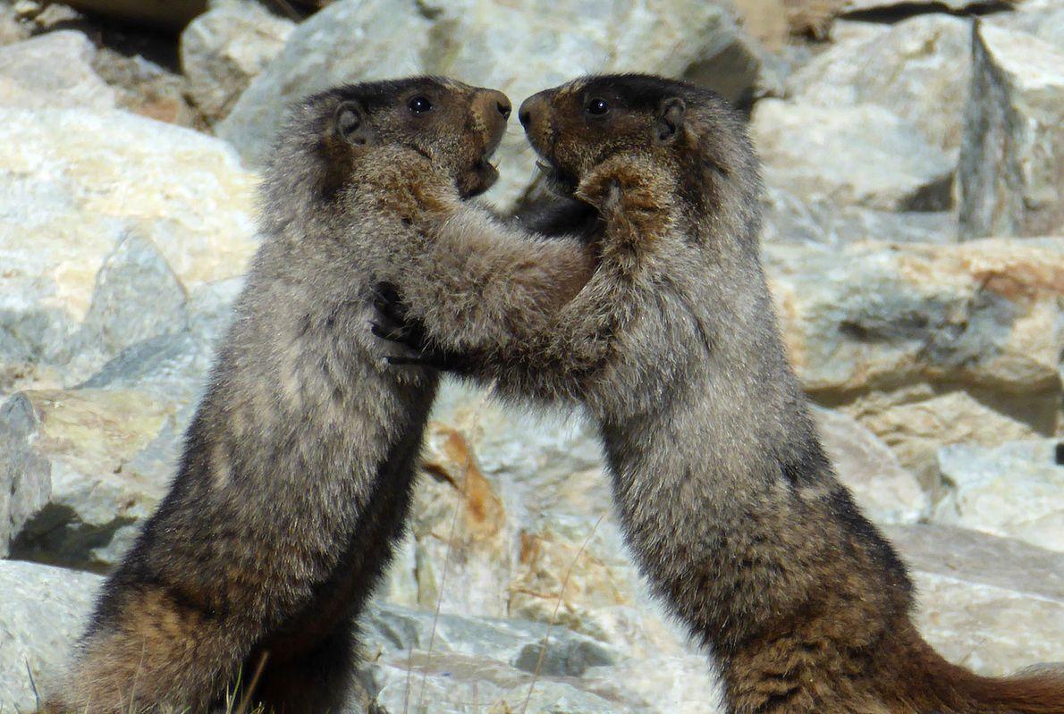 Zwei kämpfende Murmeltiere