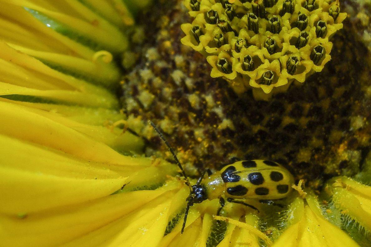Käfer in gelber Blüte