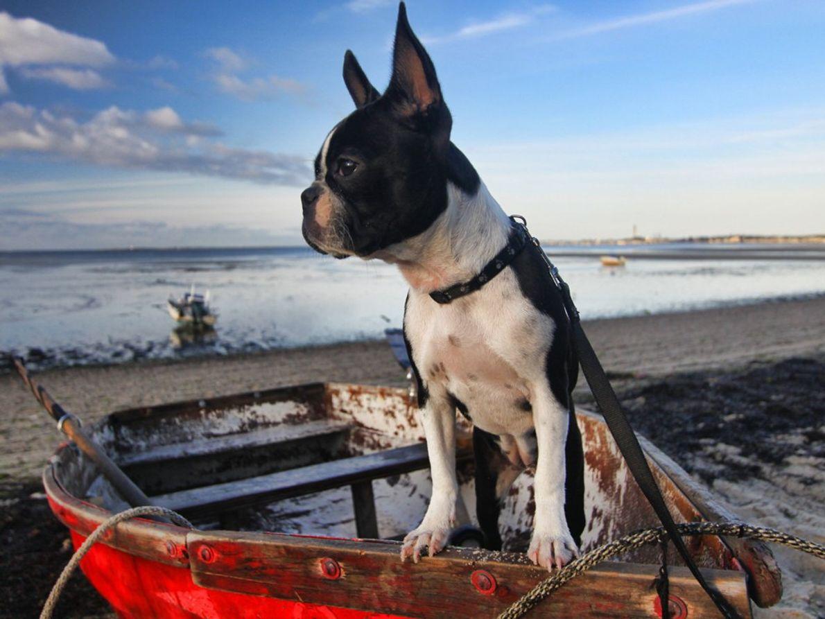 Die sechs Monate alte Boston-Terrier-Hündin Lucy erobert bei ihrem ersten Trip zum Cap Cod alle Herzen. …