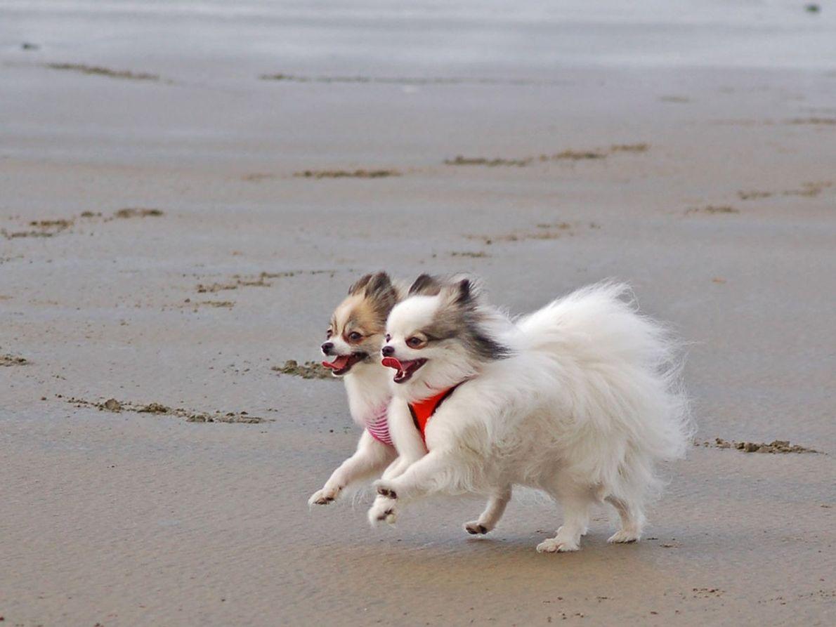 Zorro und seine kleine Schwester Madison genießen die Zeit am Strand in Waldport, Oregon. Your Shot-Fotografin …