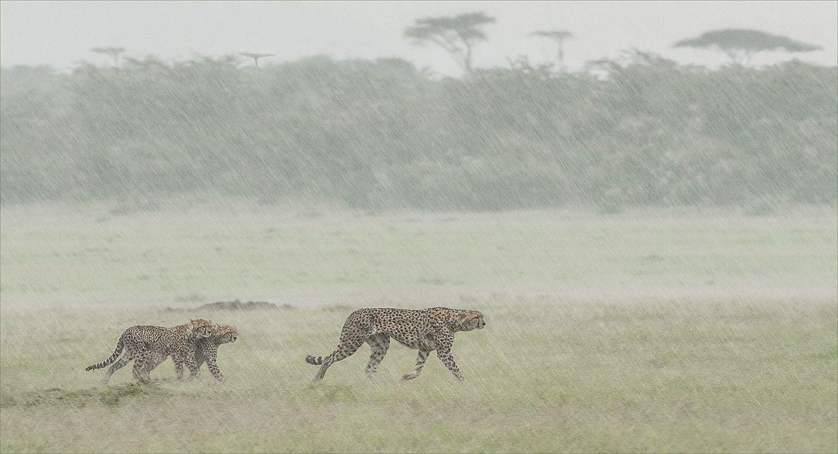 Die jungen Geparden schienen den nachmittäglichen Regenguss nicht besonders zu genießen. Sie liefen dicht beieinander, als ...